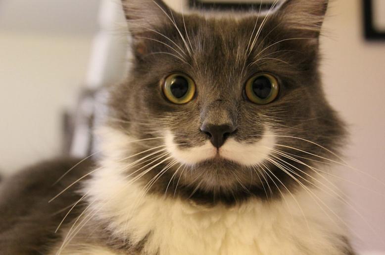 hamilton-the-hipster-cat